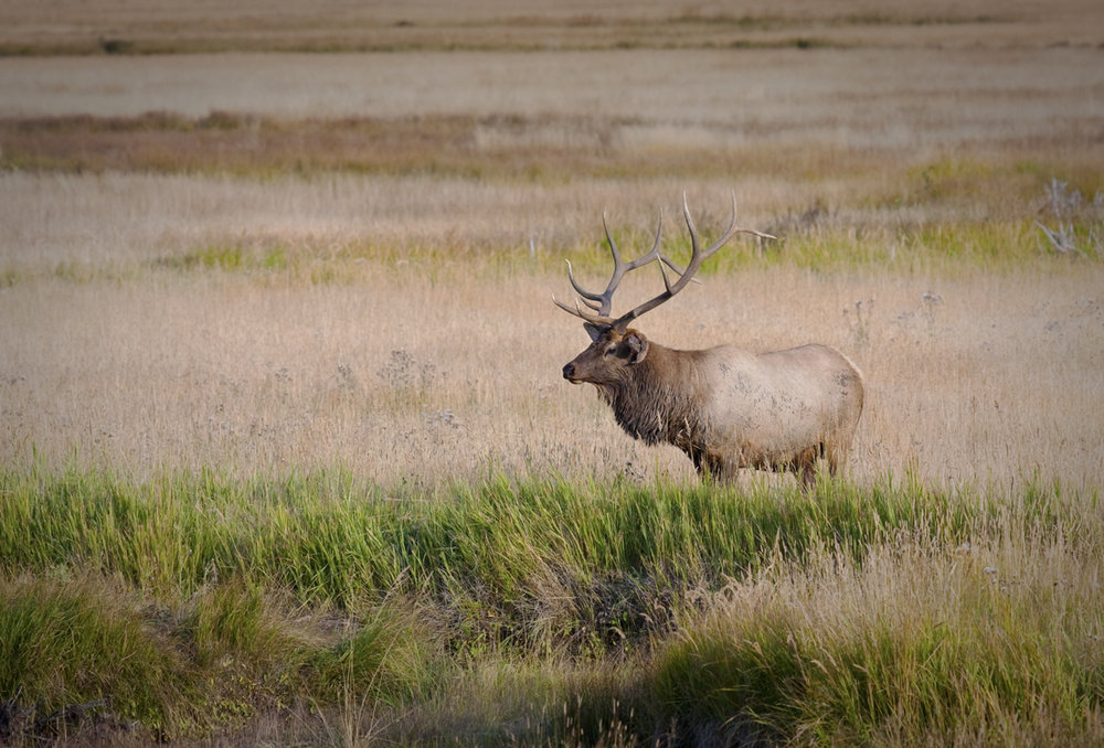 Bull-Elk-by-Stream-1900-338-2-73.jpg