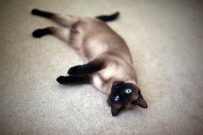 Siamese-cat-portrait-Naomi-VanDoren 2