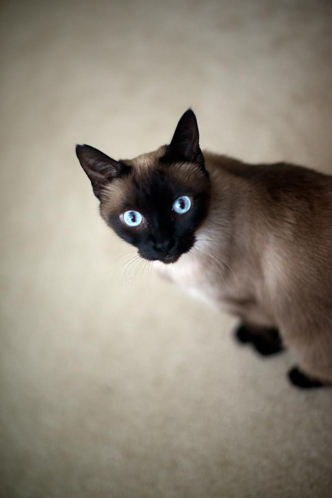 Siamese-cat-portrait-Naomi-VanDoren