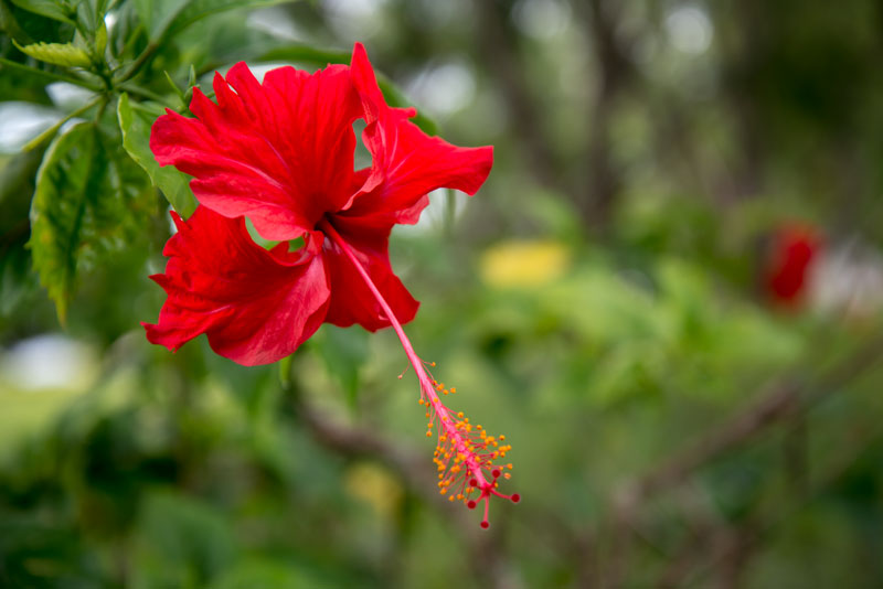 HIS-hillcreat-international-school-campus-highschool-red-flower-Sentani-Papua-Indonesia-Naomi-VanDoren.jpg