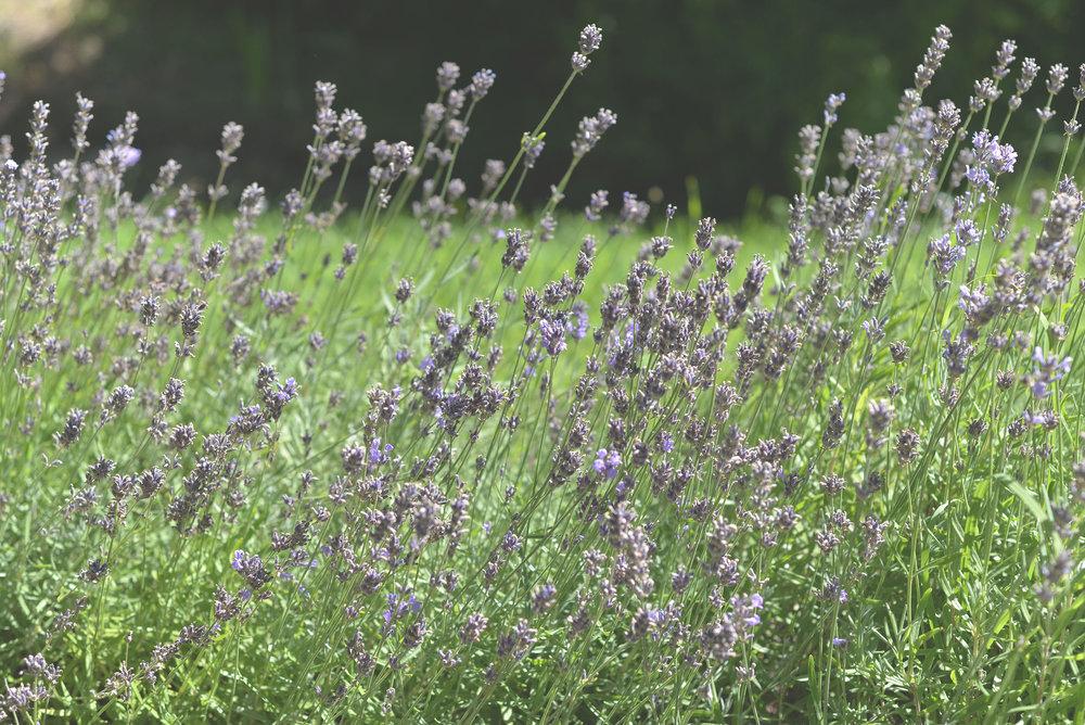 Lavender 150.jpg