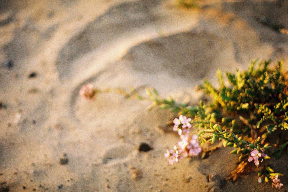 Flowers Pismo Beach California Analogue Travel Photographer