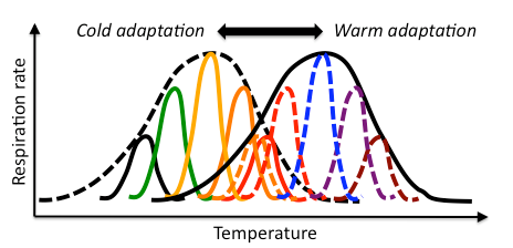 Conceptual diagram of aggregate respiration rates of cold- (black hatched line) and warm-adapted (black solid line) microbial communities. Shown underneath each curve are a family of isoenzymes, which might be expressed by the same or different species but which have different thermal sensitivities.