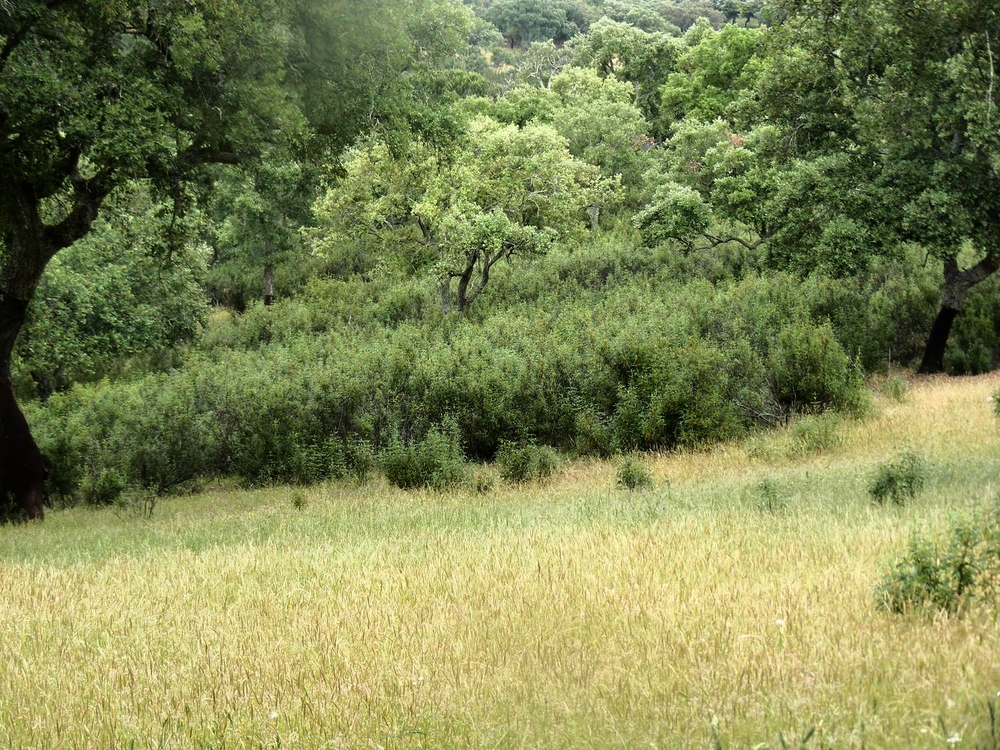 Cistus ladanifer   invading cork oak savanna in Portugal.