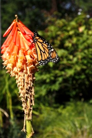 butterfly image on hot poker.jpg