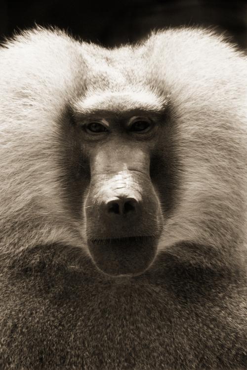 Guinea Baboon—Papio papio
