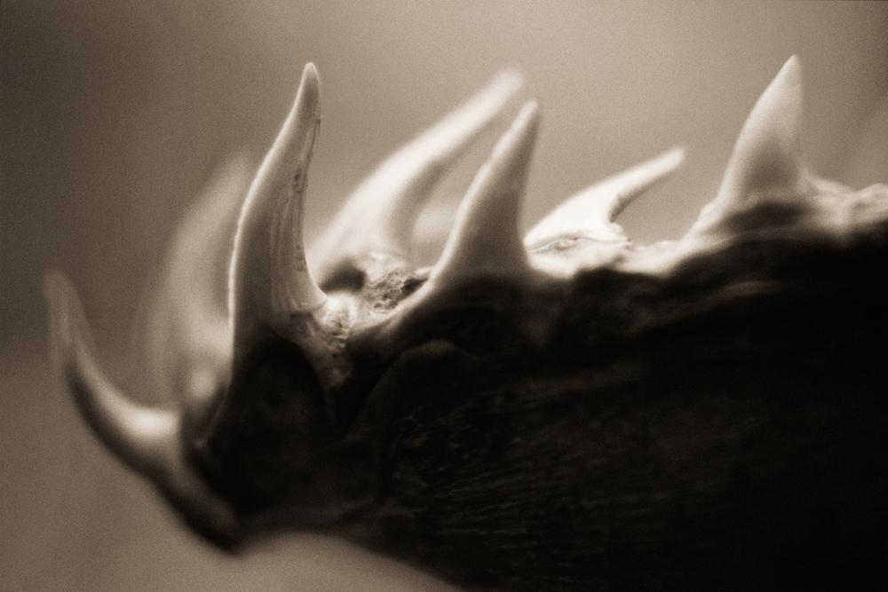 Gharial—Gavialis gangeticus