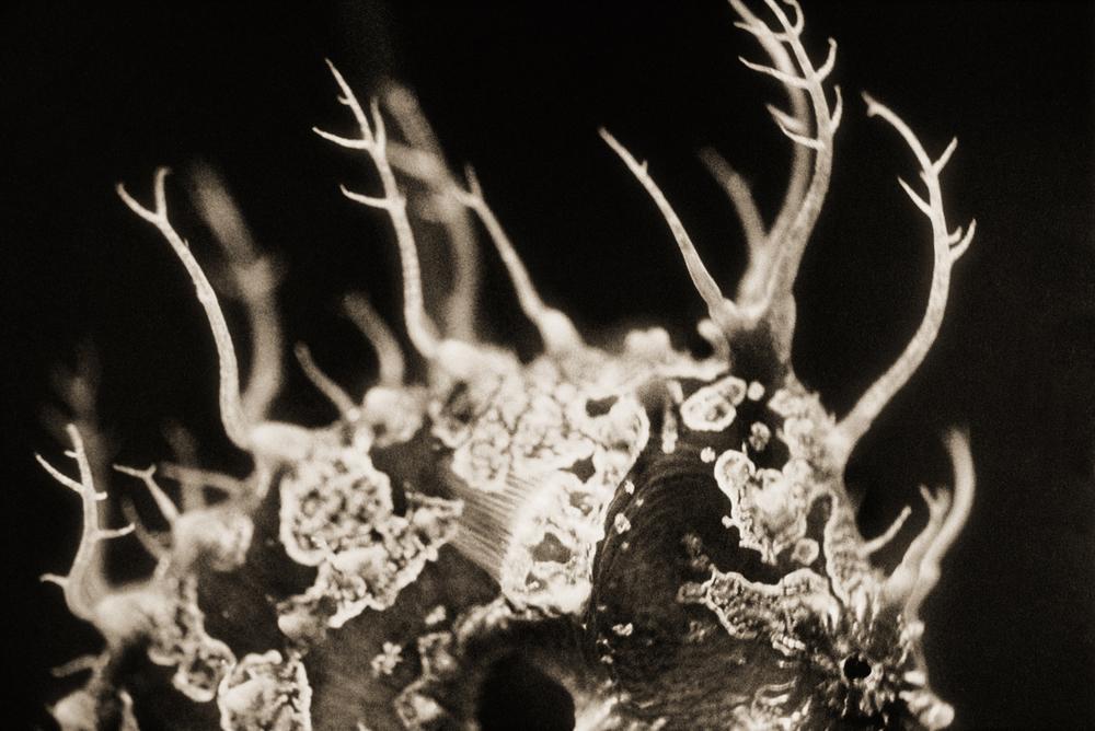 Mediterranean Seahorse–Hippocampus guttulatus