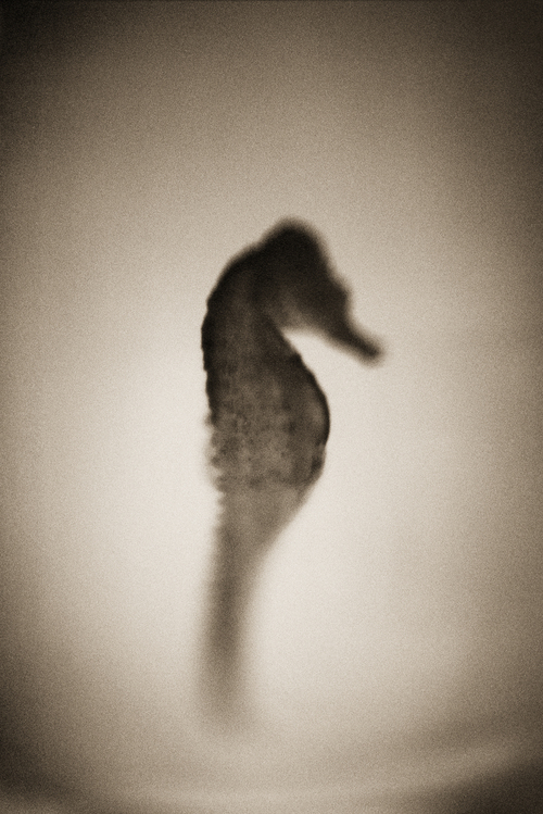 Seahorse—Hippocampus erectus