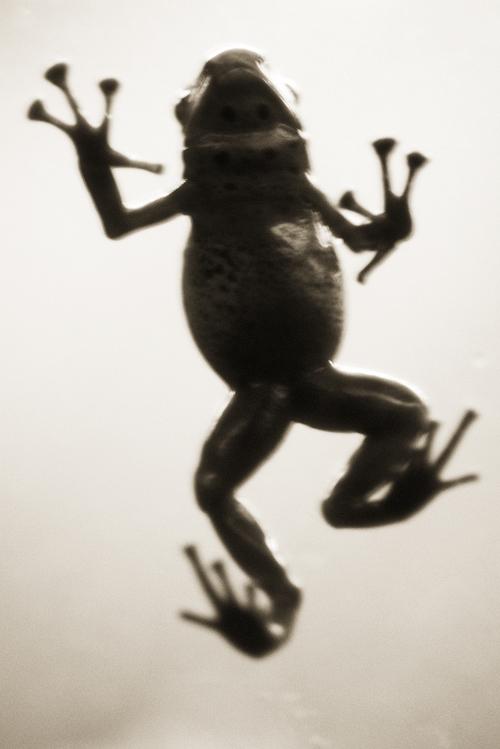 Azure Dart Frog—Dendrobates ezureus