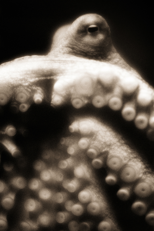 Giant Pacific Octopus–Enteroctopus dofleini