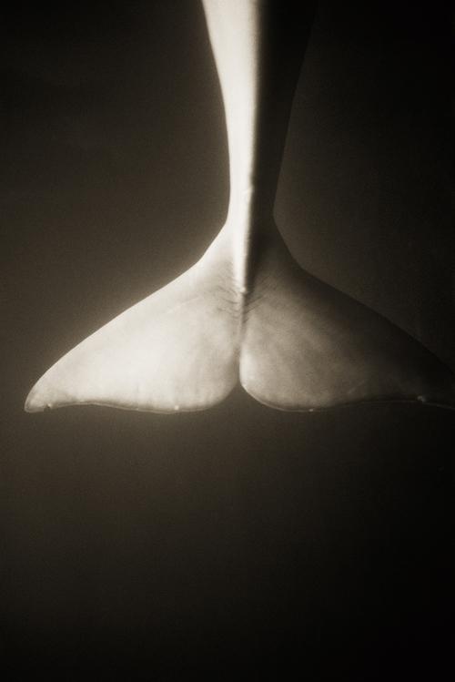 Beluga Whale–Delphinapterus leucas