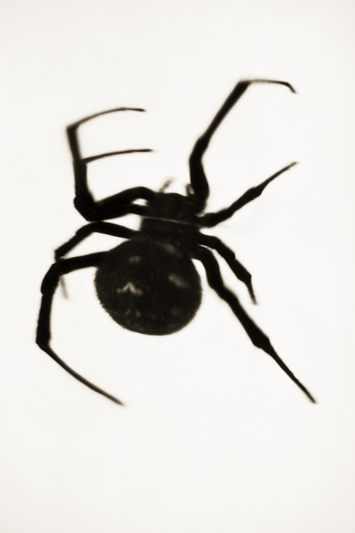 Black Widow Spider—Latrodectus mactans
