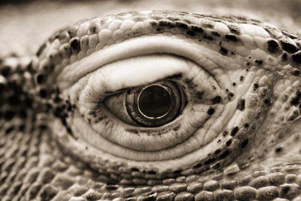 Komodo Dragon–Varanus komodoensis