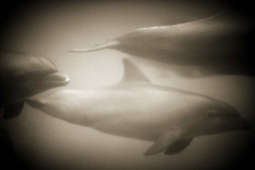 Bottlenose dolphin—Tursiops truncates