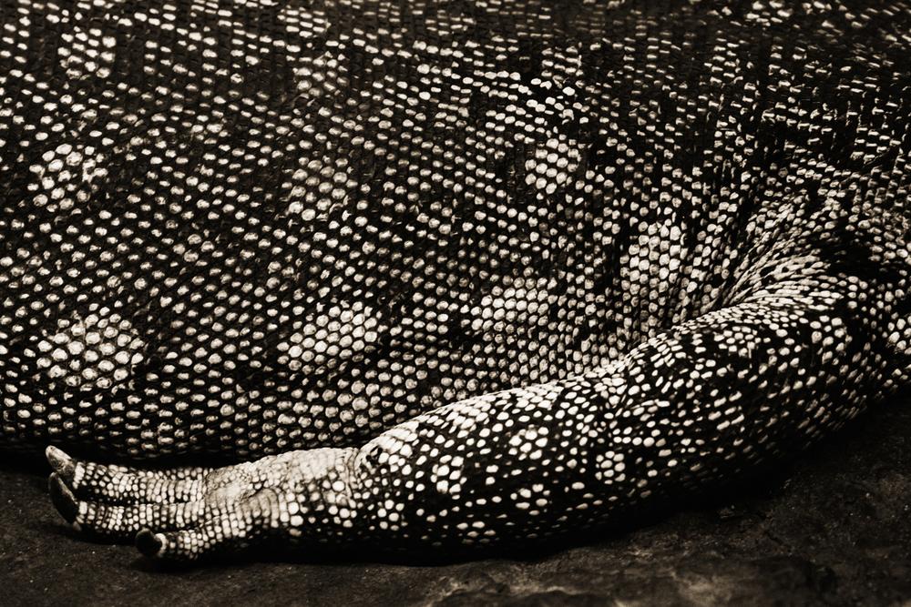 Nile Monitor Lizard–Varanus niloticus