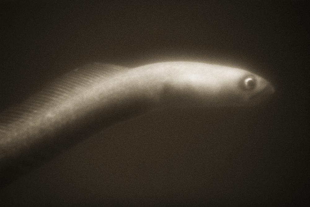 American Eel—Anguilla rostrata