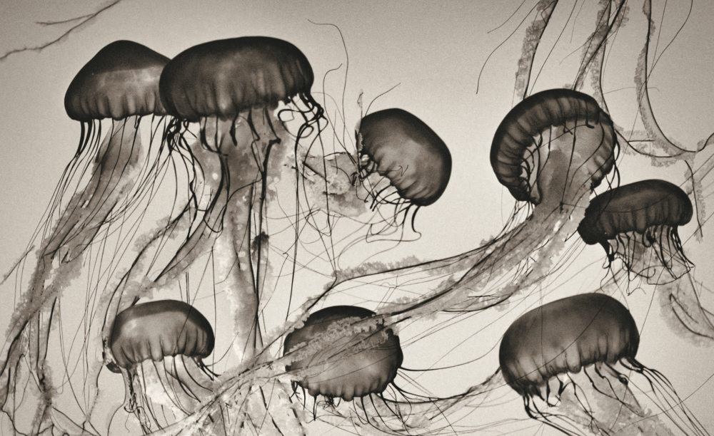 Brown Sea Nettles , Chrysaora fuscescens, 2000