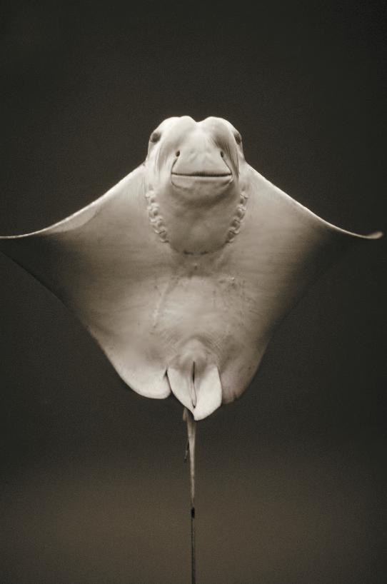 Cownose Ray , Rhinoptera bonasus, 1997