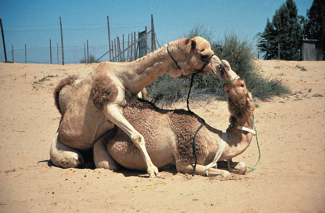 Camel Coitus, Dubai, UAE , 1996