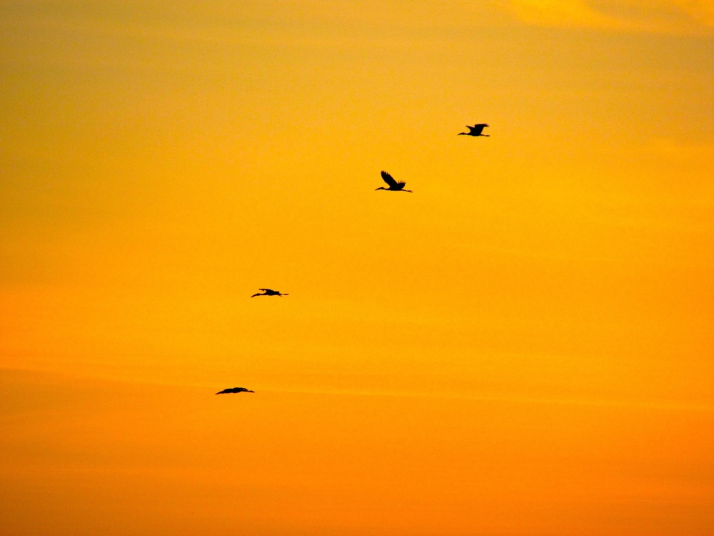 Open-billed storks at sunset by Nicole Apelian - all rights reserved.jpg