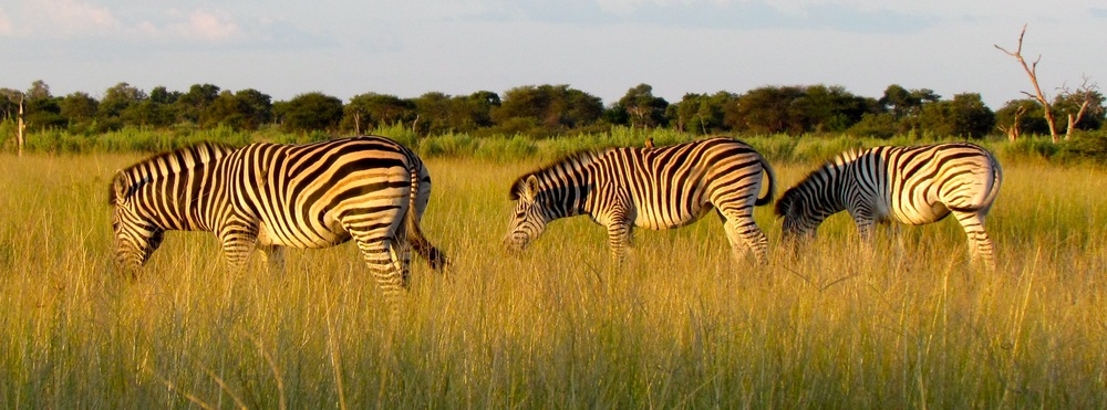 Botswana zebras by  Nicole Apelian - all rights reserved