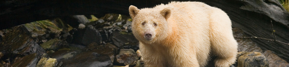 Spirit Bear.jpg