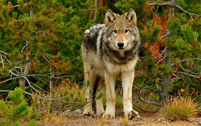 wolfyell.jpg