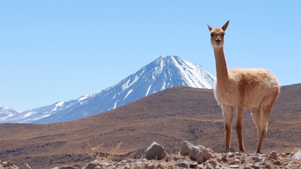 Not a llama at ALMA but a related vinuca