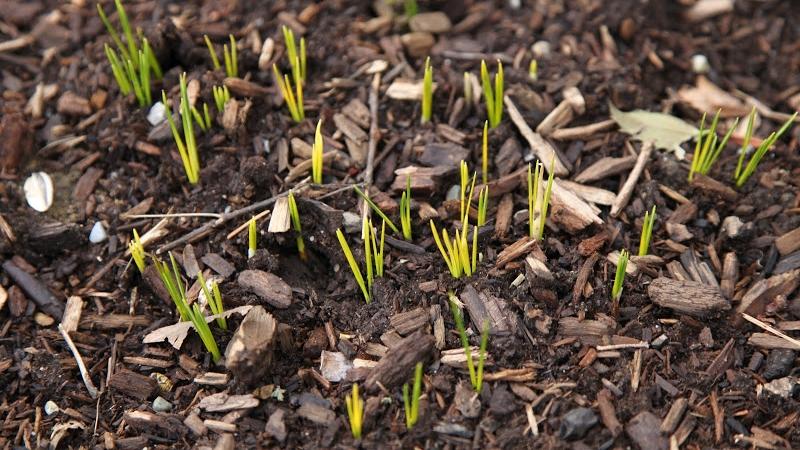 Tips-for-planting-bulbs.jpg