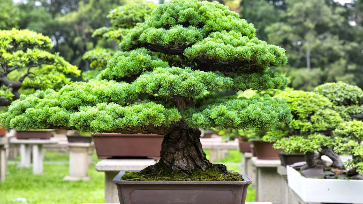 Learning The Art Of Bonsai Can Calm Your Nerves Sunnyside Nursery