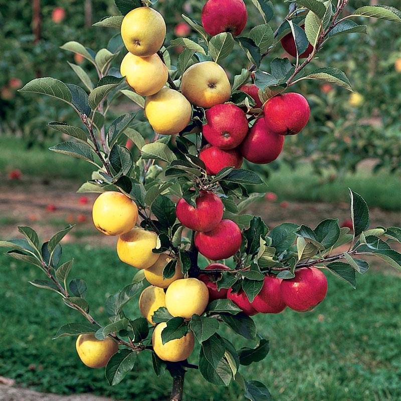 Apple Trees Sunnyside Nursery