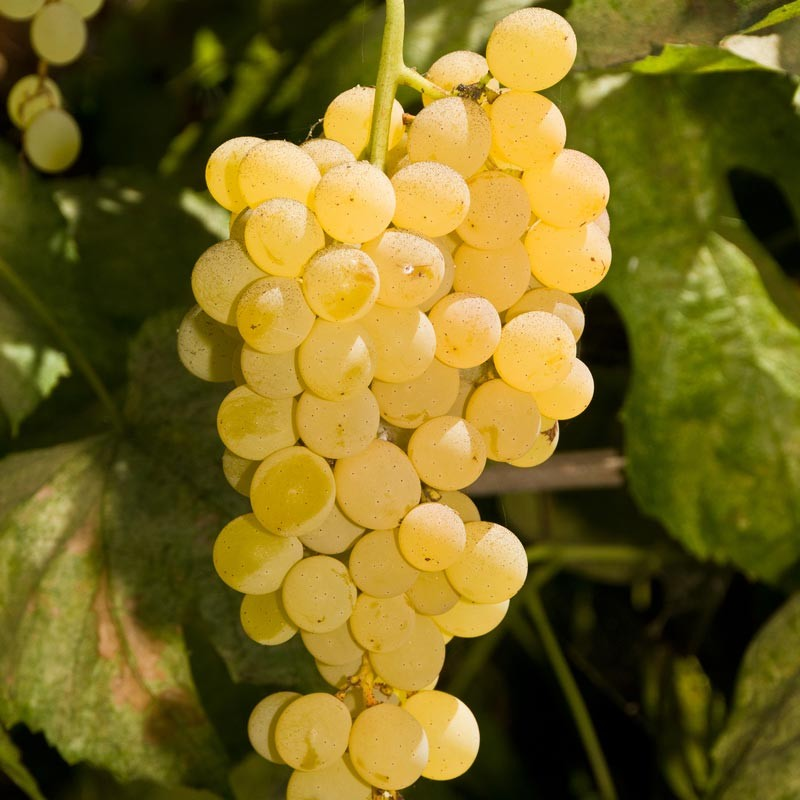 Grapes sunnyside nursery for Table grapes
