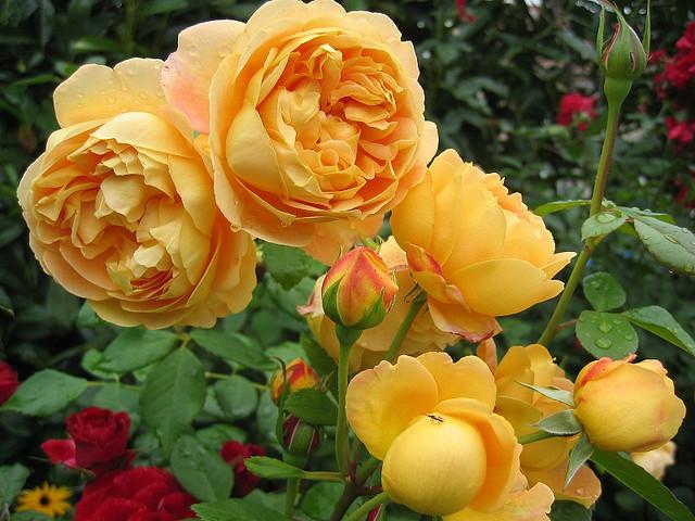 david austin english roses sunnyside nursery. Black Bedroom Furniture Sets. Home Design Ideas