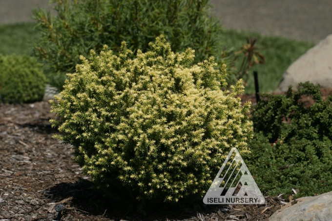cryptomeria japonica golden promise