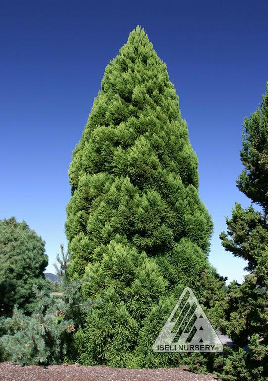 cryptomeria japonica reins dense jade