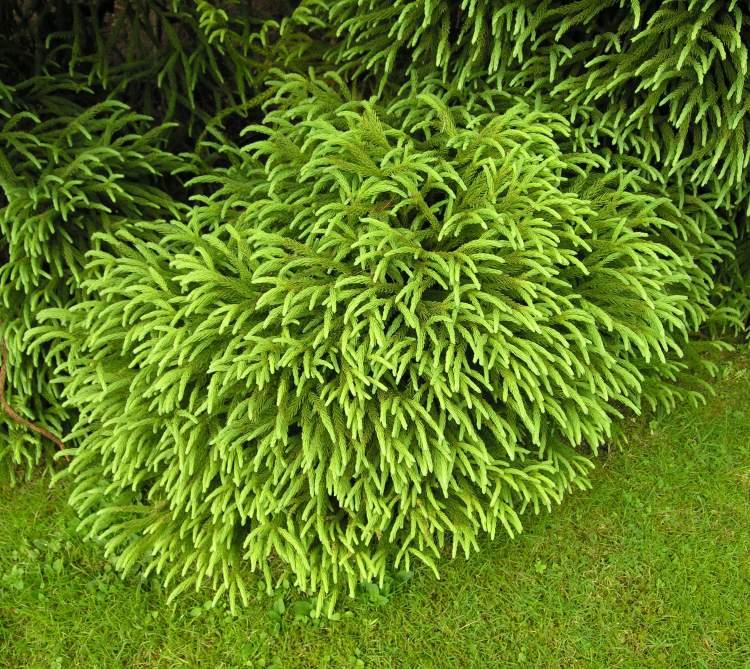 cryptomeria japonica spiralis