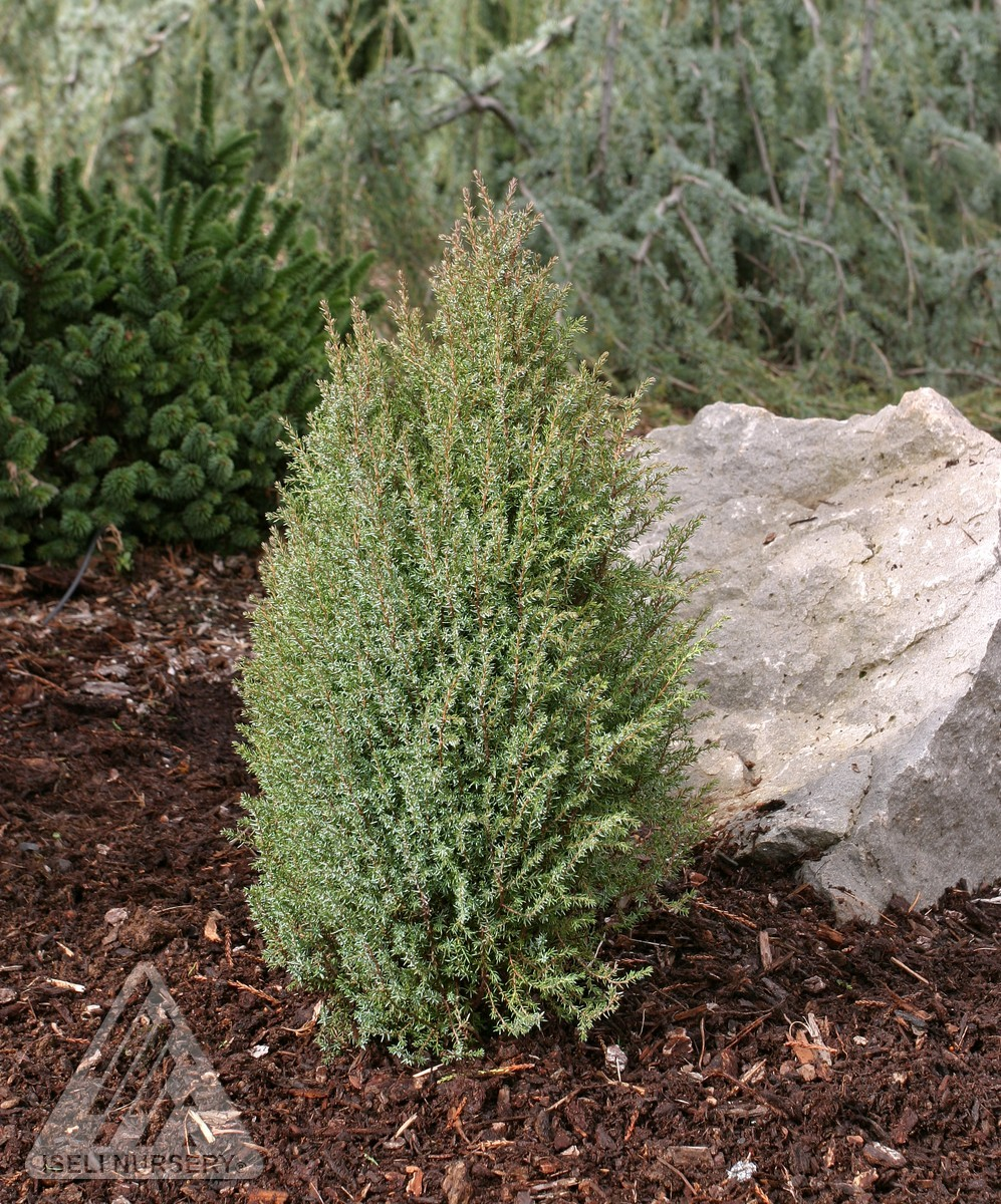 juniperus communis miniature