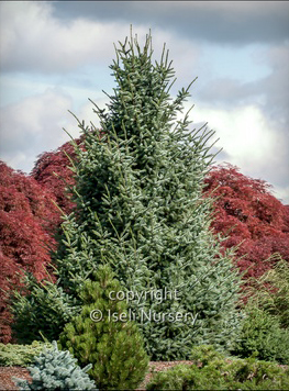 Picea omorika Silberblue.jpg