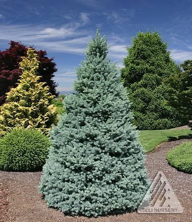 Picea pungens Sester Dwarf.jpg