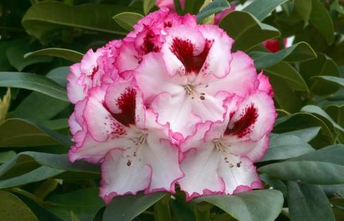 White rhododendrons sunnyside nursery cherry cheesecake mightylinksfo