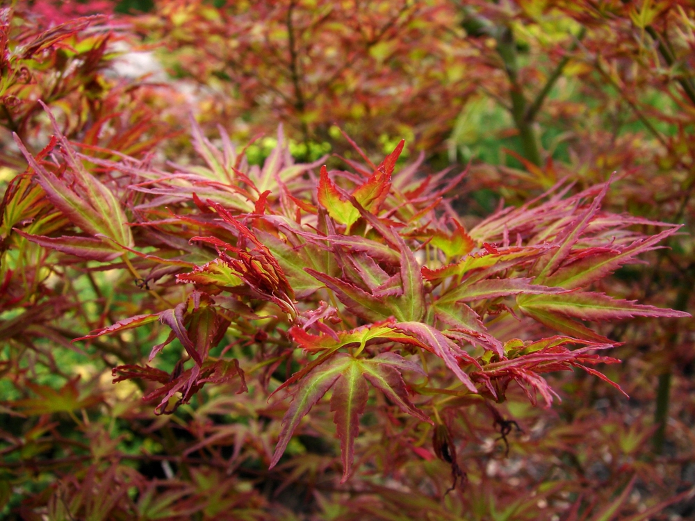 Japanese Maples Under 10 Feet A M Sunnyside Nursery