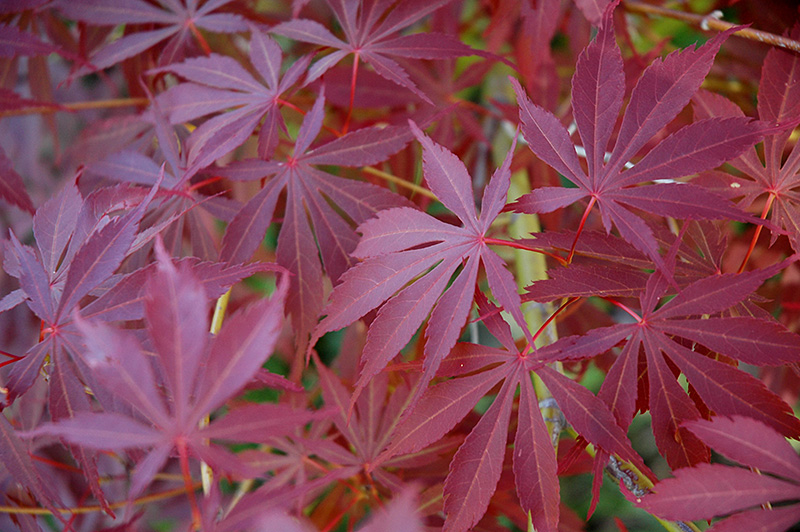 Japanese Maples Over 10 Feet Sunnyside Nursery