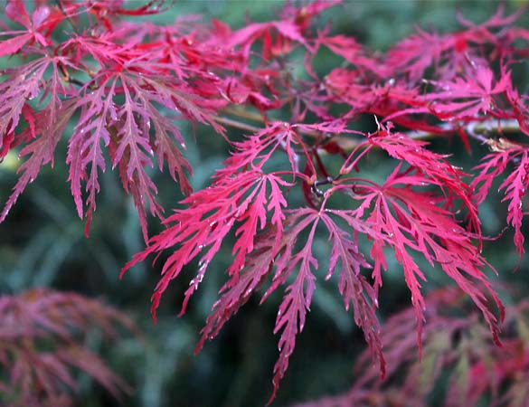 Japanese maples sunnyside nursery Japanese maple leaf