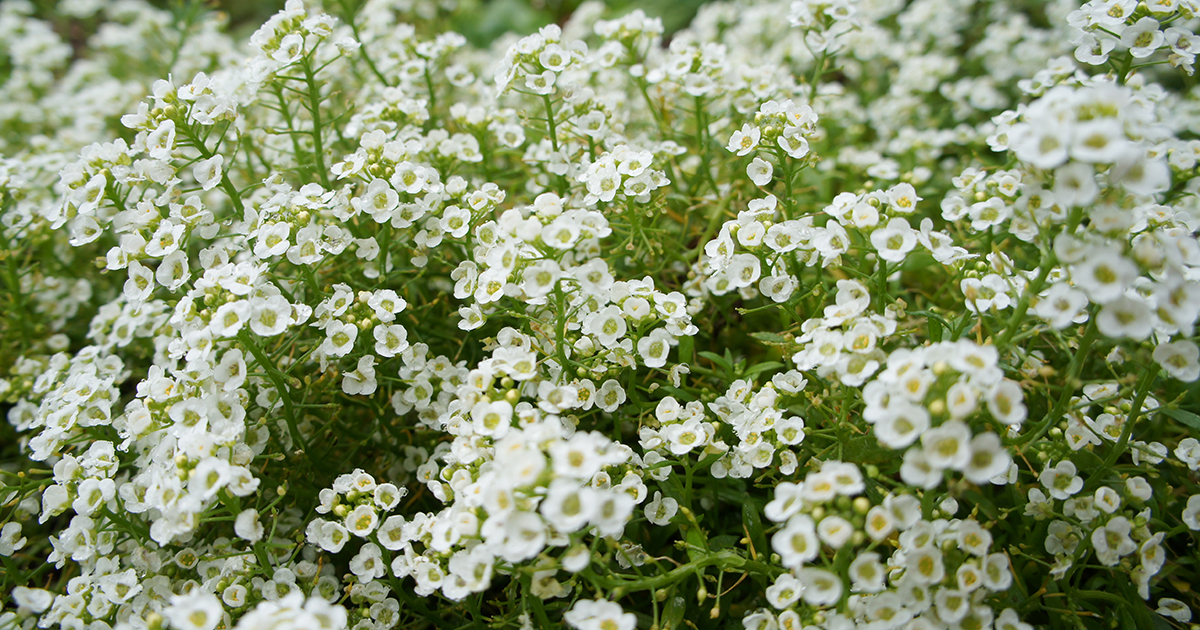 Low growing sun perennials sunnyside nursery alyssum mightylinksfo