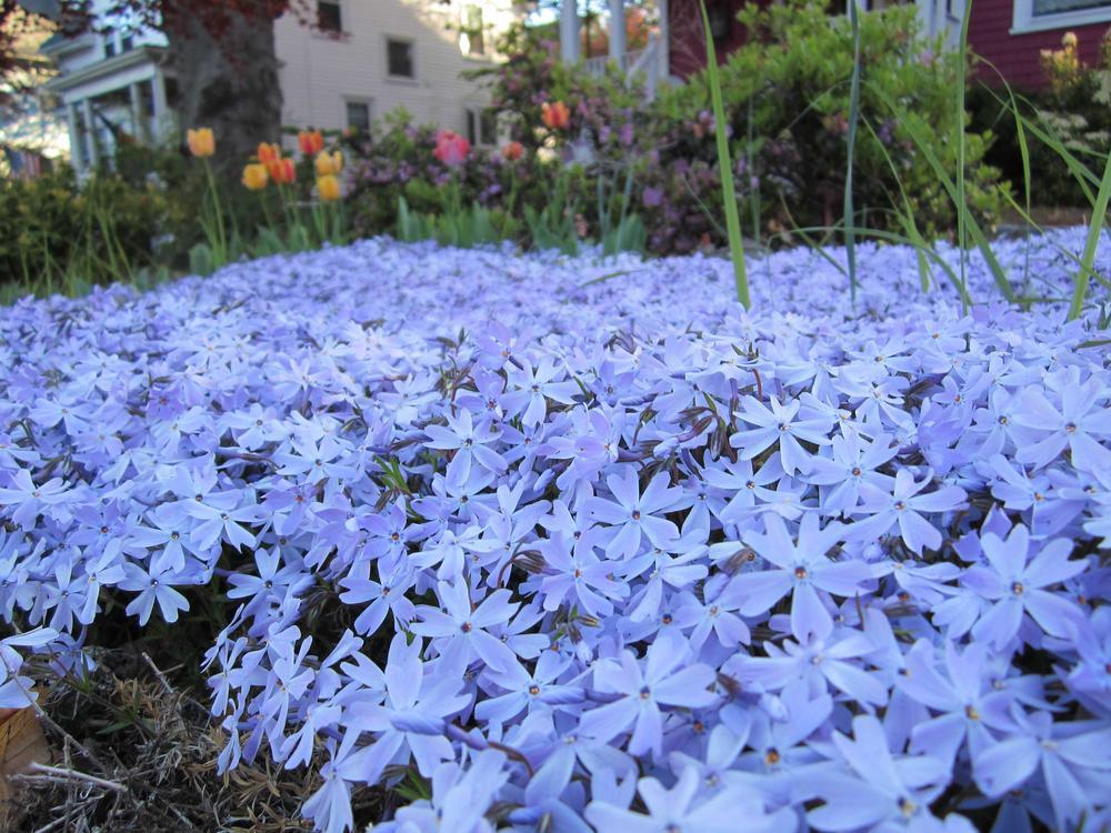 Low growing sun perennials sunnyside nursery mightylinksfo