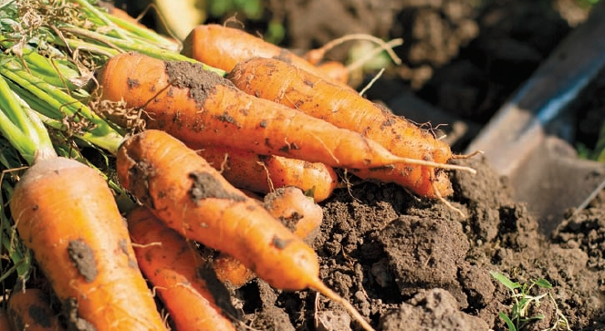 carrots just pulled from ground