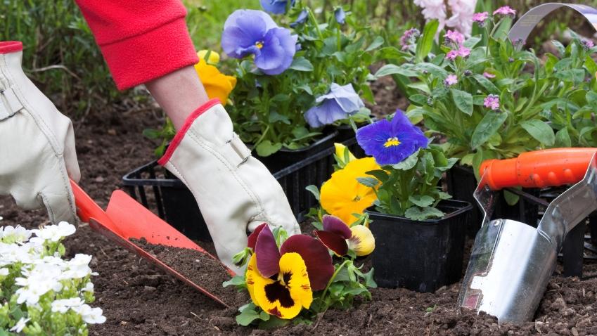 planting pansies