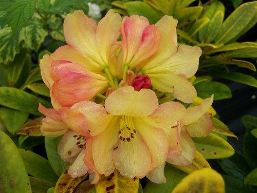 Orange yellow rhododendrons sunnyside nursery golden ruby mightylinksfo