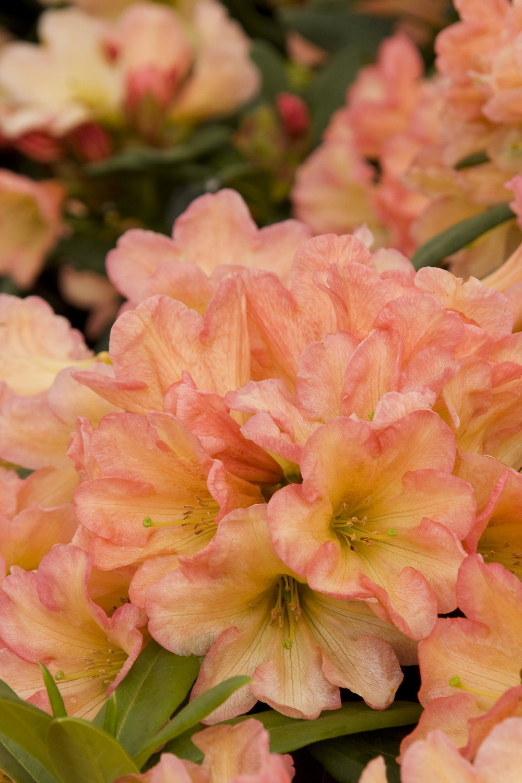 Orange Yellow Rhododendrons Sunnyside Nursery